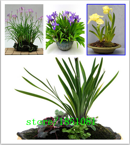 100 шт./лот, ирис, цветок семени, разнообразие полное, начинающего скорость 95%, (разные цвета) DIY домашний сад бесплатная доставка