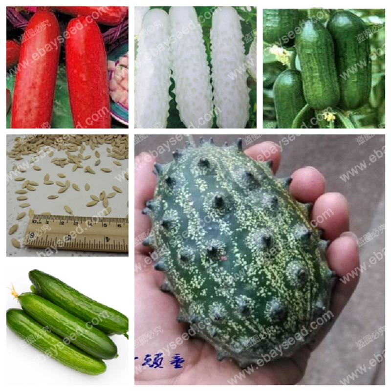 Balcony cucumber seeds 100% true cucumber seeds varieties complete green fruits and vegetables - 30 seeds/bag