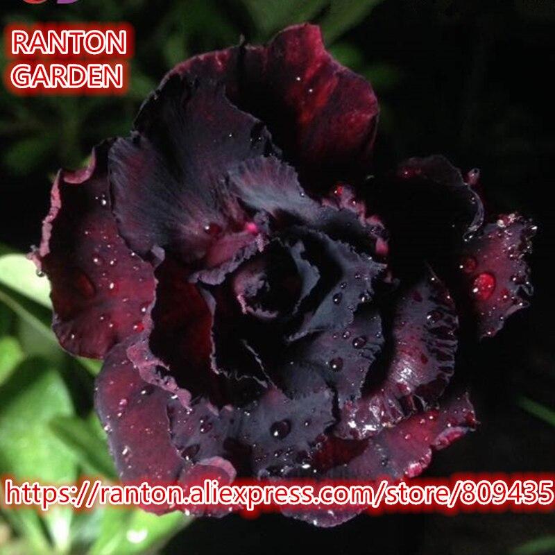 RANTON GARDEN New Multi-layer Purple Hawki Desert Rose 5 Seeds, Rare beautiful Adenium Obesum Seeds Home Garden Flowers Seeds