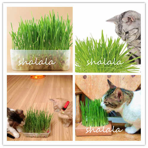 Promotion 1000 Pcs Cat Grass Bonsai Herb Edible Lemongrass Kitchen Vegetable Potted Plant Health Plant Easy To Grow