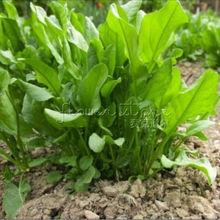 400 nutritious French Sorrel  Lettuce Herb Seeds Vegetable