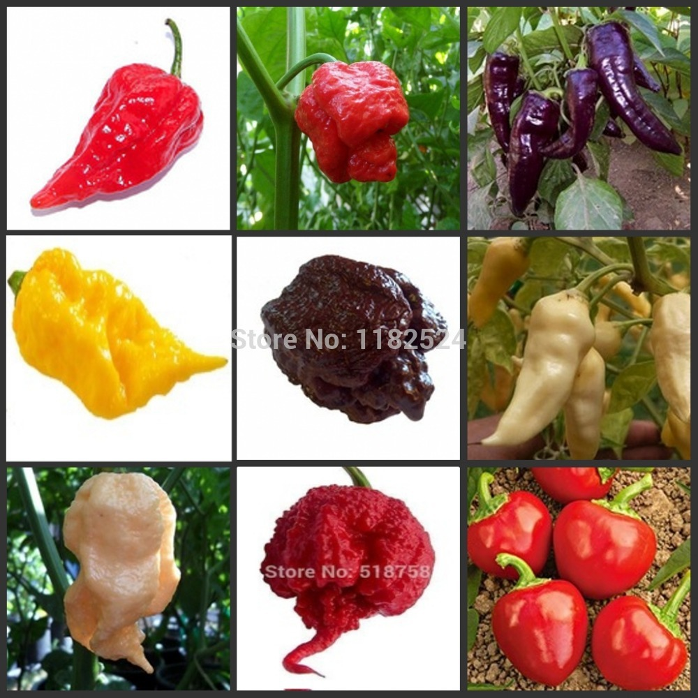 100pcs World's Hottest Pepper - Trinidad Moruga Scorpion Vegetable Semillas Sementes