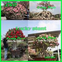Adenium Obesum Семена thaniland луковицы тюльпанов дерево бонсай лаванды цветок жасмина 500 Свежий Микс Desert Rose Семена Big1