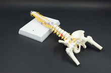 DongYun brand Human spine bone skull skeleton  model  can be curved spine with femur Medical Science teaching supplies