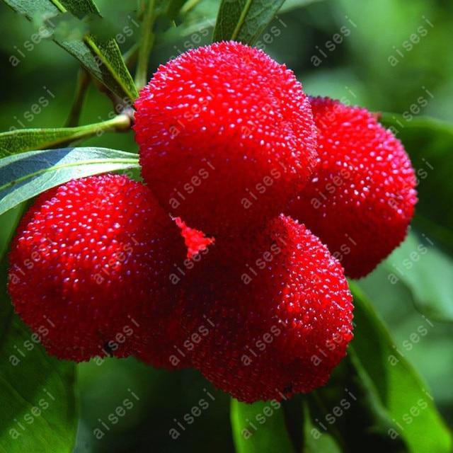 5 قطعة/الحقيبة مصنع القطلب الفراولة الفاكهة حديقة سهلة تنمو يانغ مي شجرة للمنزل حديقة