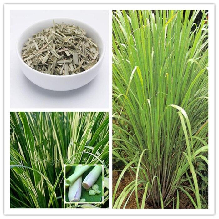 grass lemmon Asian seeds