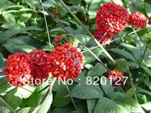 20 семена псевдо-женьшень radix notoginseng семена, 20 Seeds / pack, китайские травяные семена