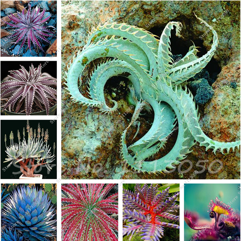 unids varias semillas lithops piedra viva flor de cactus suculentas raras semillas de cactus planta