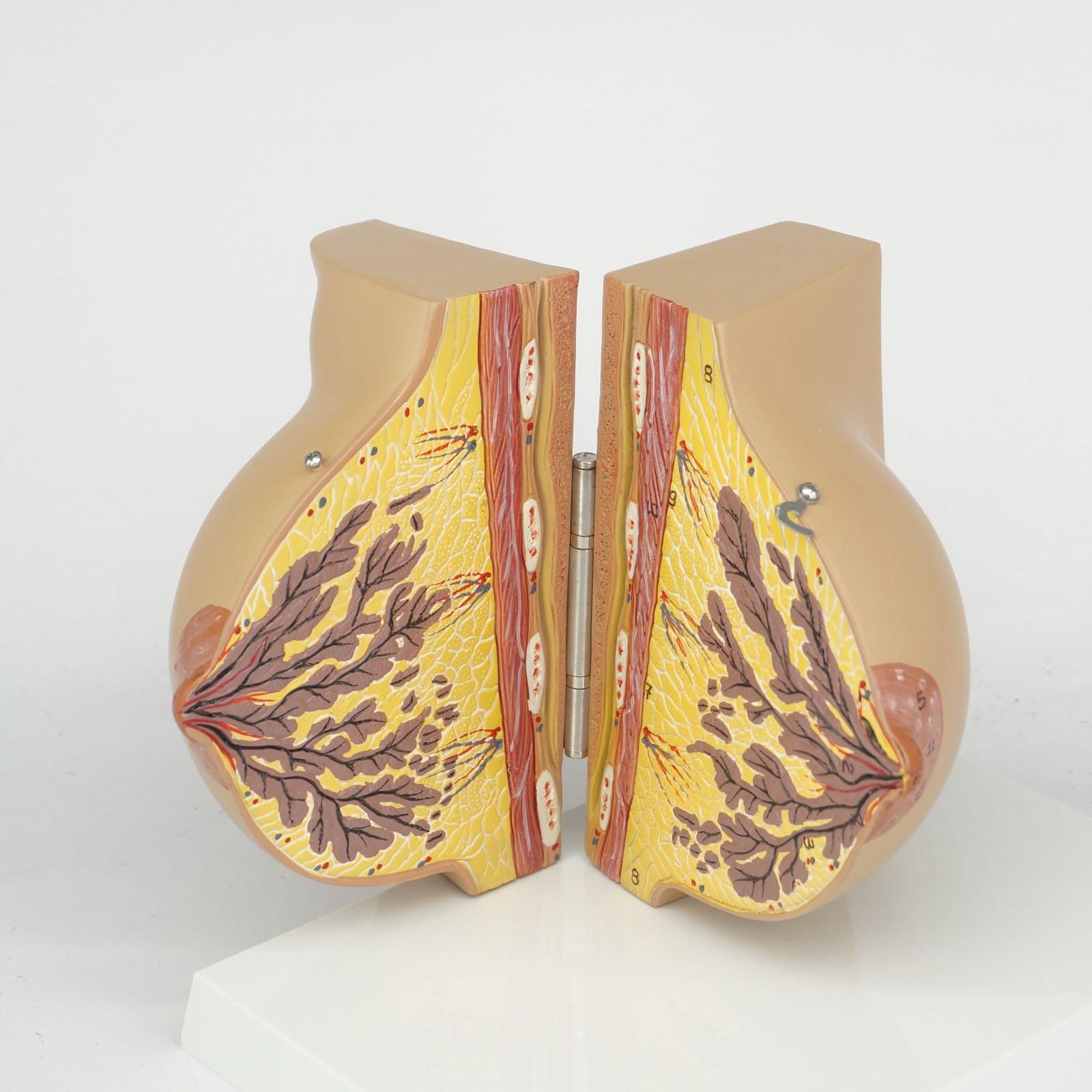 Medizinische Feminine Stationäre Phase Brust Modell Anatomie ...