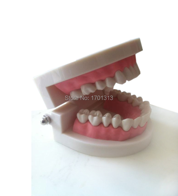 Medical teaching tool Teeth model dental model  Special decoration Clinic personalized decorative Figurines