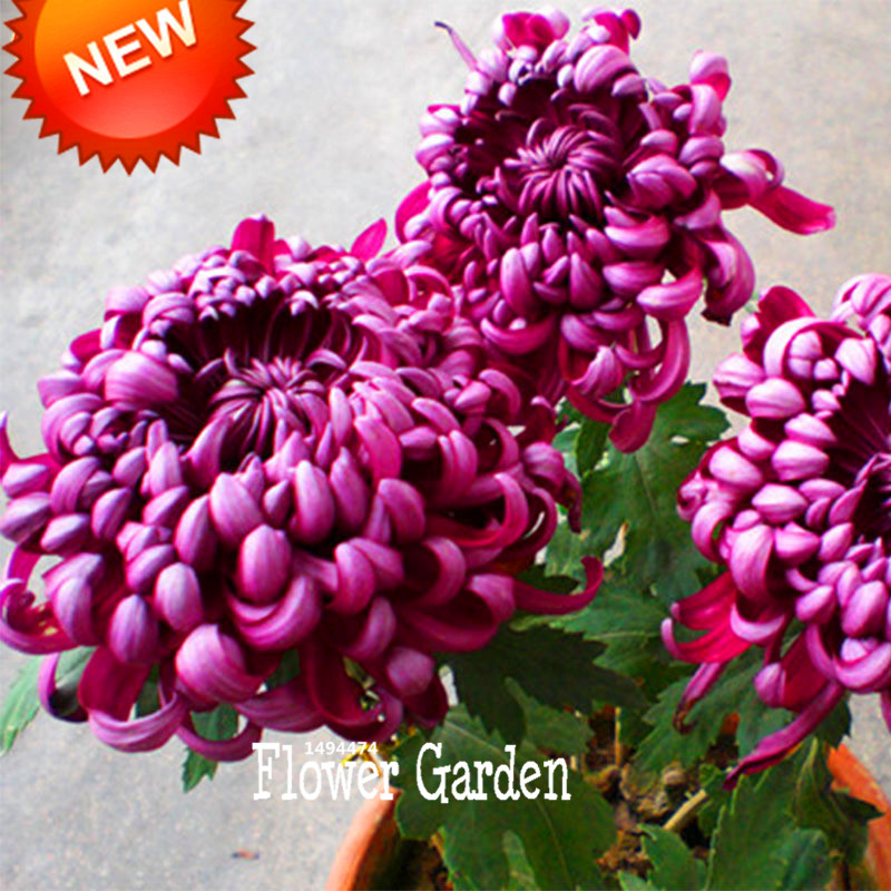 Big Promotion!100 Seeds/lot Rare Bicolor Purple Hot Pink Chrysanthemum Seeds Morifolium Seeds DIY Gardening Flower Plant,#7OQOUV