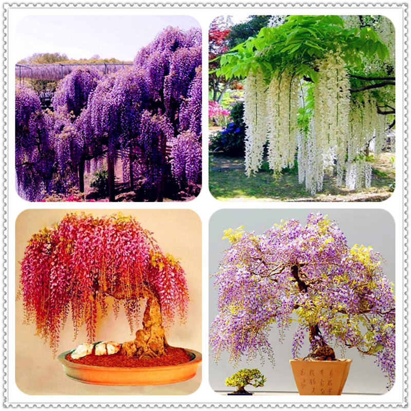 Sale 10 Pcs Wisteria Bonsai Rare Red Wisteria Flower Bonsai Tree Perennial Indoor Ornamental Potted Plants For Home Mini Garden
