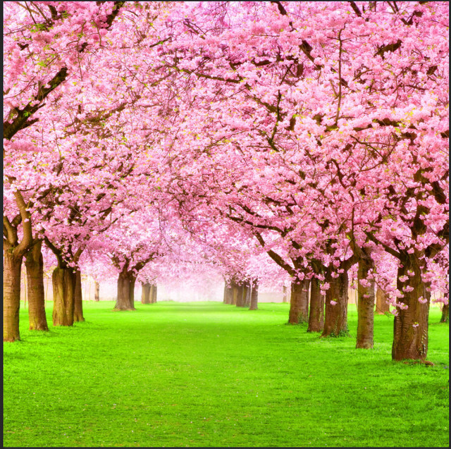 Online shop 8x8ft pink sakura flowers blossom park tree path grass 8x8ft pink sakura flowers blossom park tree path grass tunnel custom photography studio background backdrop vinyl 240cm x 240cm mightylinksfo