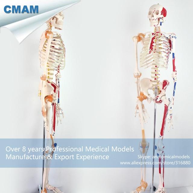 12369 CMAM SKELETON08 170 cm Modelo de Esqueleto Humano w Ligamento ...