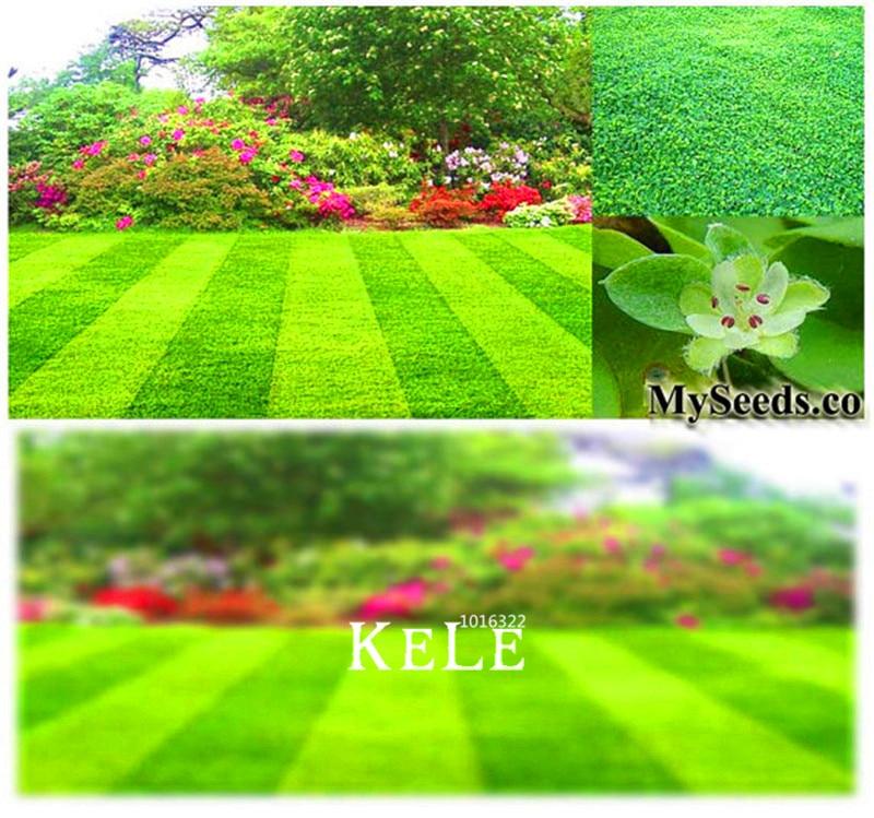 Шт./упак. 100 Потеря Акция! Дихондра газон трава растение легко расти, DIY Цветы для дома, сада бонсай