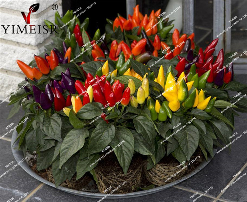 edible ornamental chilli pepper seeds mini fruit and. Black Bedroom Furniture Sets. Home Design Ideas