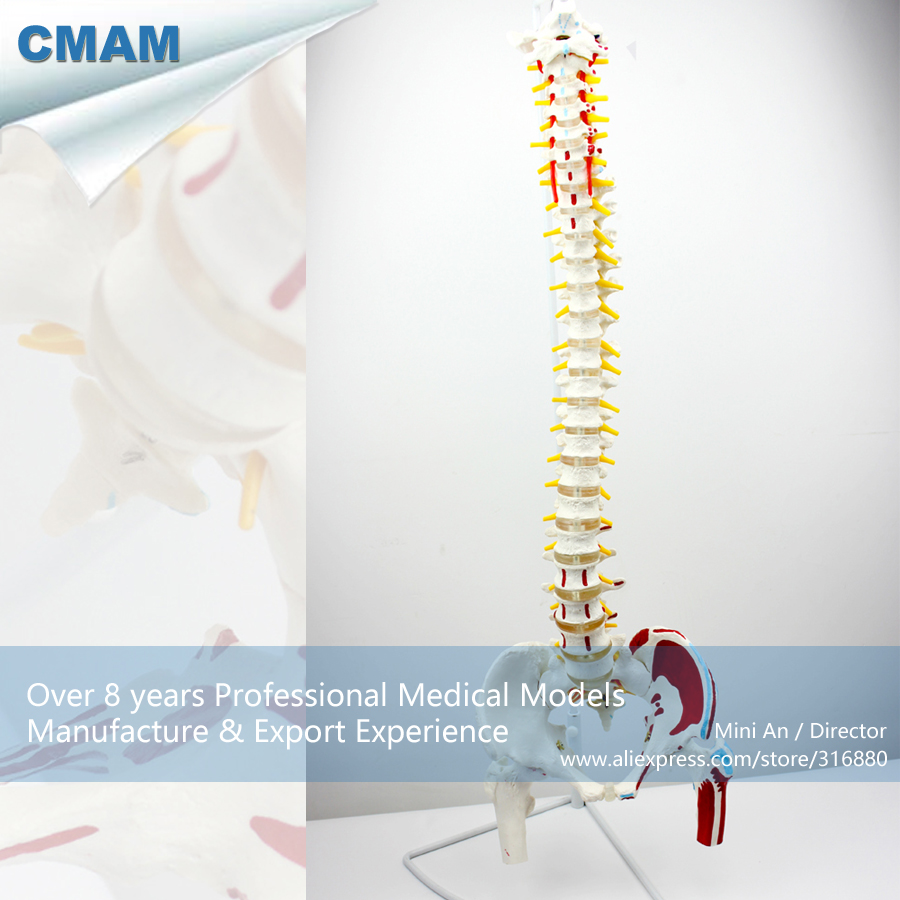 12378 / CMAM-SPINE05-1 Vertebral Column with Pelvis and Painted Muscles Model, Medical Science Educational Teaching Models12378 / CMAM-SPINE05-1 Vertebral Column with Pelvis and Painted Muscles Model, Medical Science Educational Teaching Models