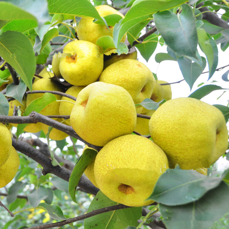 Direct Selling Outdoor Plants Authentic Pear Seeds Fruit Tree Seeds Home  Garden Diy For Bonsai 100g