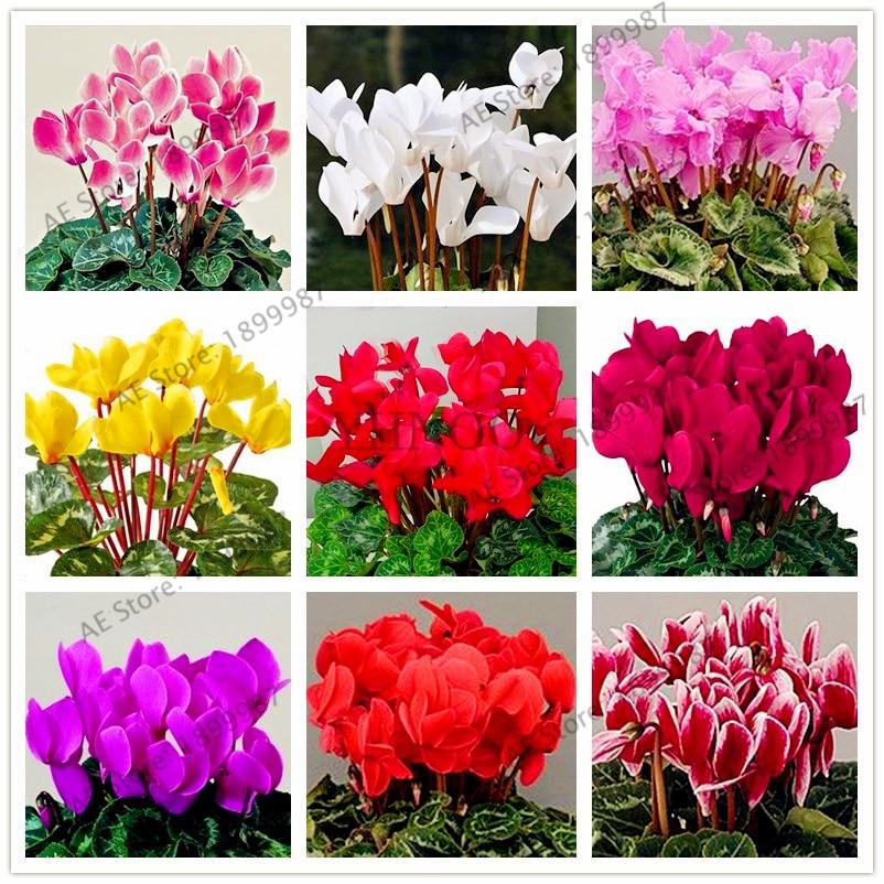 100 шт./пакет цикламен карликовые деревья, несколько цвет цикламен цветок Plantas, редкие многолетнее растение бонсай для дома и сада