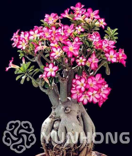 الصحراء الورود بونساي ، بوعاء الزهور النباتية ، الأدينيوم أوبيموم اللون اختياري 100% صحيح النبات العينية اطلاق النار ، 1 قطعة/الحقيبة 99% مزيج الألوان