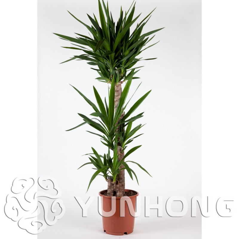 50/pack Yucca Bonsai  Diy Potted Plants Indoor / Outdoor Pot Bonsai Germination Rate Of 95% New White Orchid Sementes Evergreen