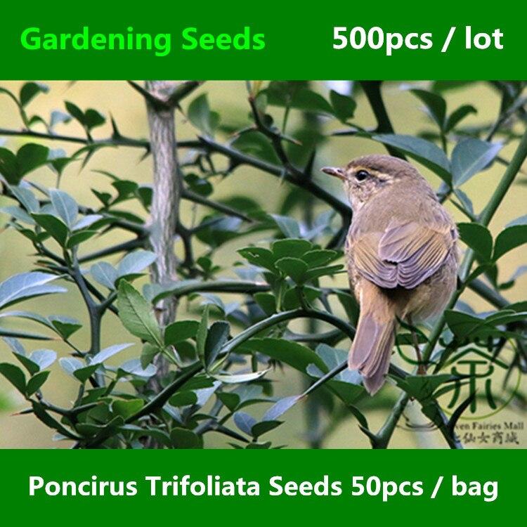 ^^Ornamental Plant Poncirus Trifoliata ^^^^ 500pcs, Trifoliate Orange Gardening ^^^^, Family Rutaceae Hedgerow Gou Ju Tree ^^^^