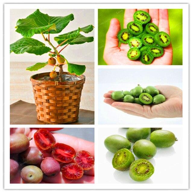 100 киви Фрукты карликовые деревья Редкие мини киви ягоды карликовые деревья вкусные органические высокой питательной овощей для DIY домашний сад