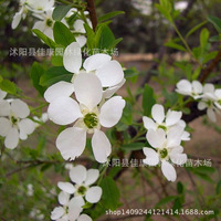 Tree plant Exochorda wholesale authentic gold fruit plant white silk cocoon plum flower real shot 200g / Pack