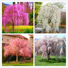 10 pcs/bag weeping sakura seeds, cherry blossom seeds, beautiful sakura tree bonsai pot plant tree flower seeds for home garden