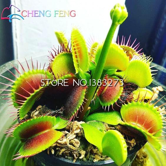 300 Plants - 100% Genuine Eat Cordyceps Dionaea Muscipula Giant Clip Venus Flytrap Plants Carnivorous Plant Plants