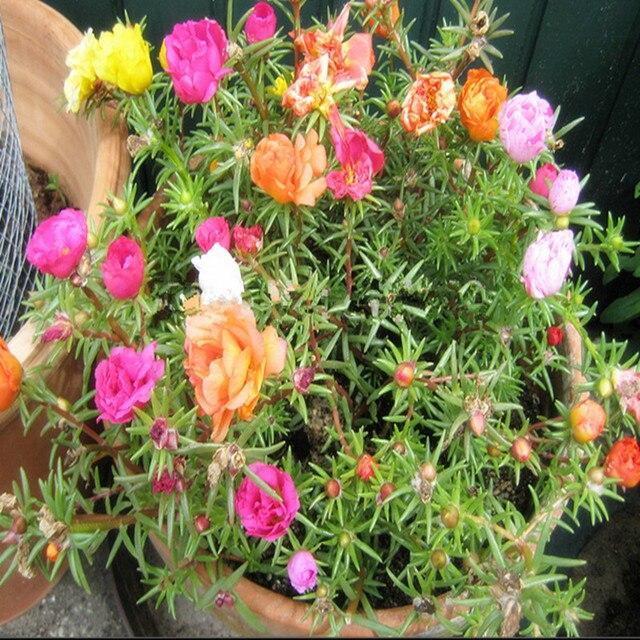 Accueil Jardin Mixte Mexicain Rose Soleil Plante Portulaca Mousse