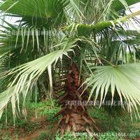 Tree plant silk sunflower plant sunflower elderly California fan palm tree bonsai Washington palm plant 200g / Pack
