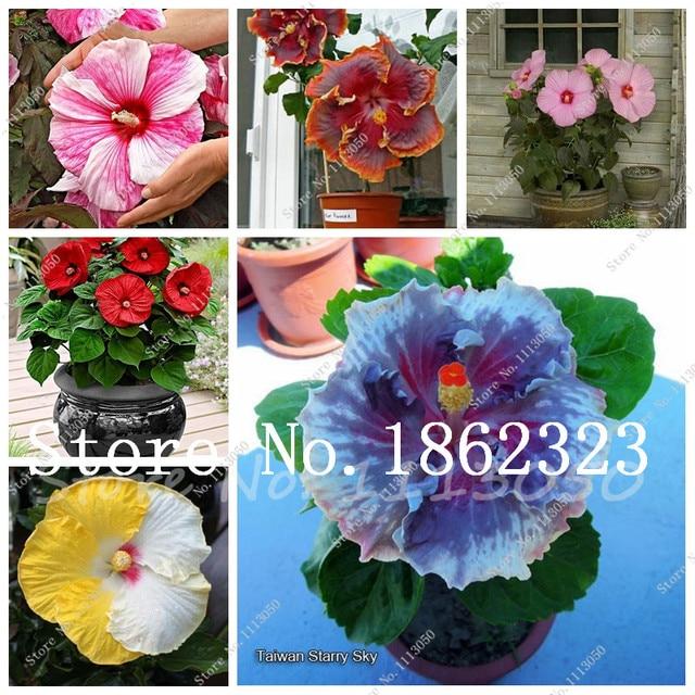 Sale 100 Pcsbag Hibiscus Bonsai Perennial Hibiscus Flower Plant