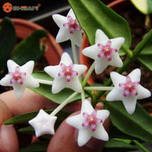Bonsai Hoya Seeds,Orchid Flower Seeds Novel Plant for DIY Garden 100 Particles / lot