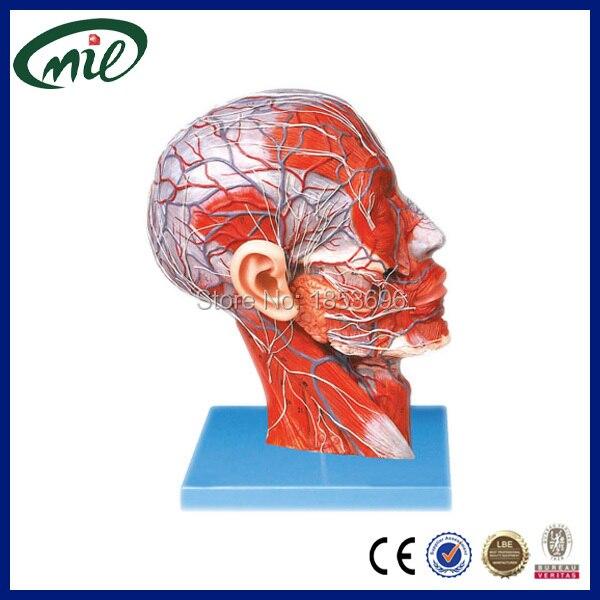 Anatomische modell mimischen neck muskel system wichtigsten ...