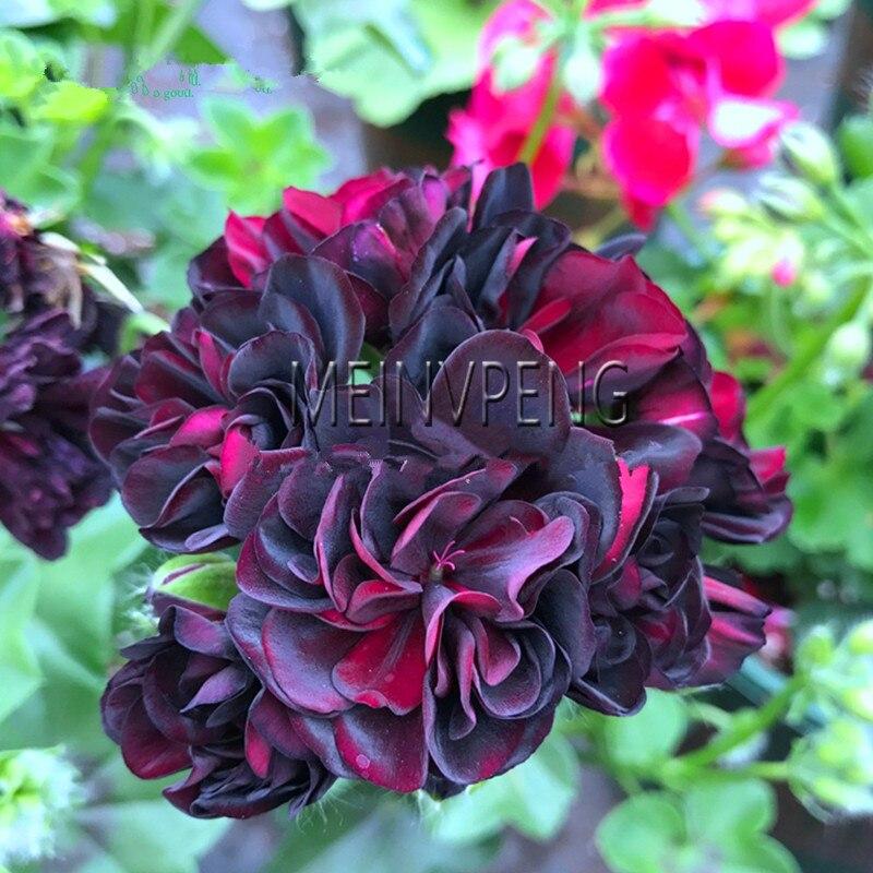 ¡Venta! raro Rojo Negro Rosa geranio bonsai, plantas de flores perennes Pelargonium Peltatum Bonsai para interiores, 5 jardín