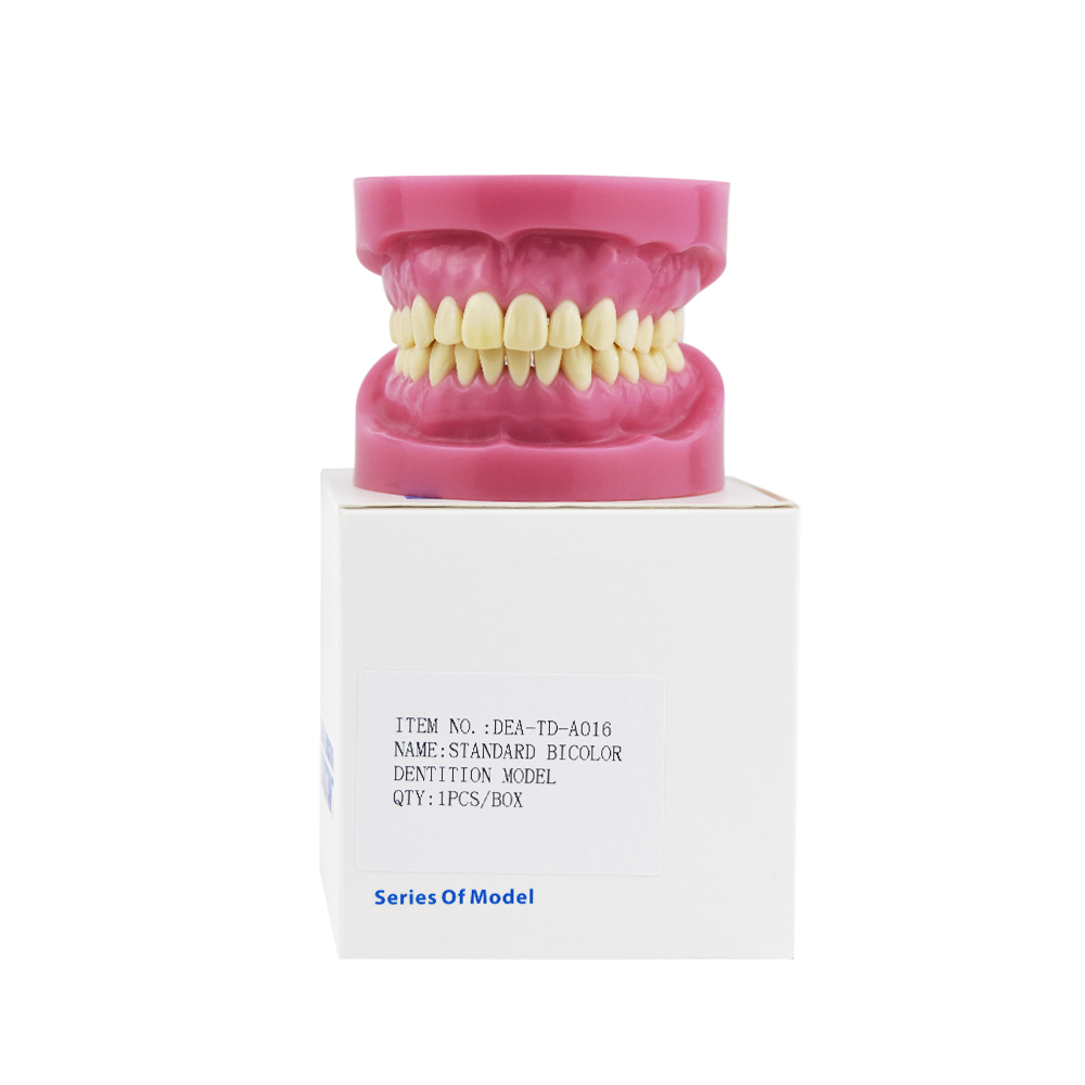 2018 Promotion New Dental Material Dental Study Model Standard Bicolor Dentition Teeth Epoxy Resin Tooth Soft Gum Dp Jaw Frame free shipping good quality dental soft gum teeth model with tougnetypodont w 32 removable teeth nissin 200 compatible