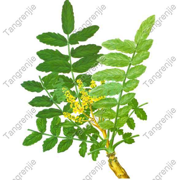 Free shipping 100% high quality Boswellin Extract 65% Boswellic Acid free shipping quality assure 100