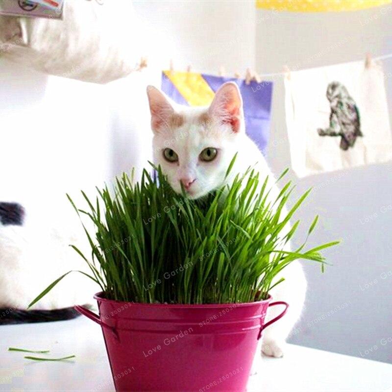 100 шт./пакет пестрый Кот трава бонсай Листва растений бонсай пырей мятный запах Улучшенный кошка Еда для вашего питомца