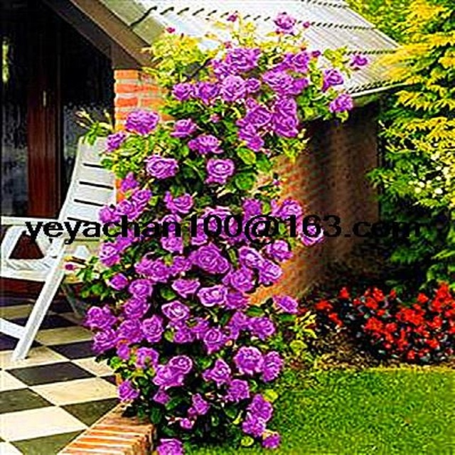 Purple fairy garden  Climbing Roses bloom over time 200 flower seeds
