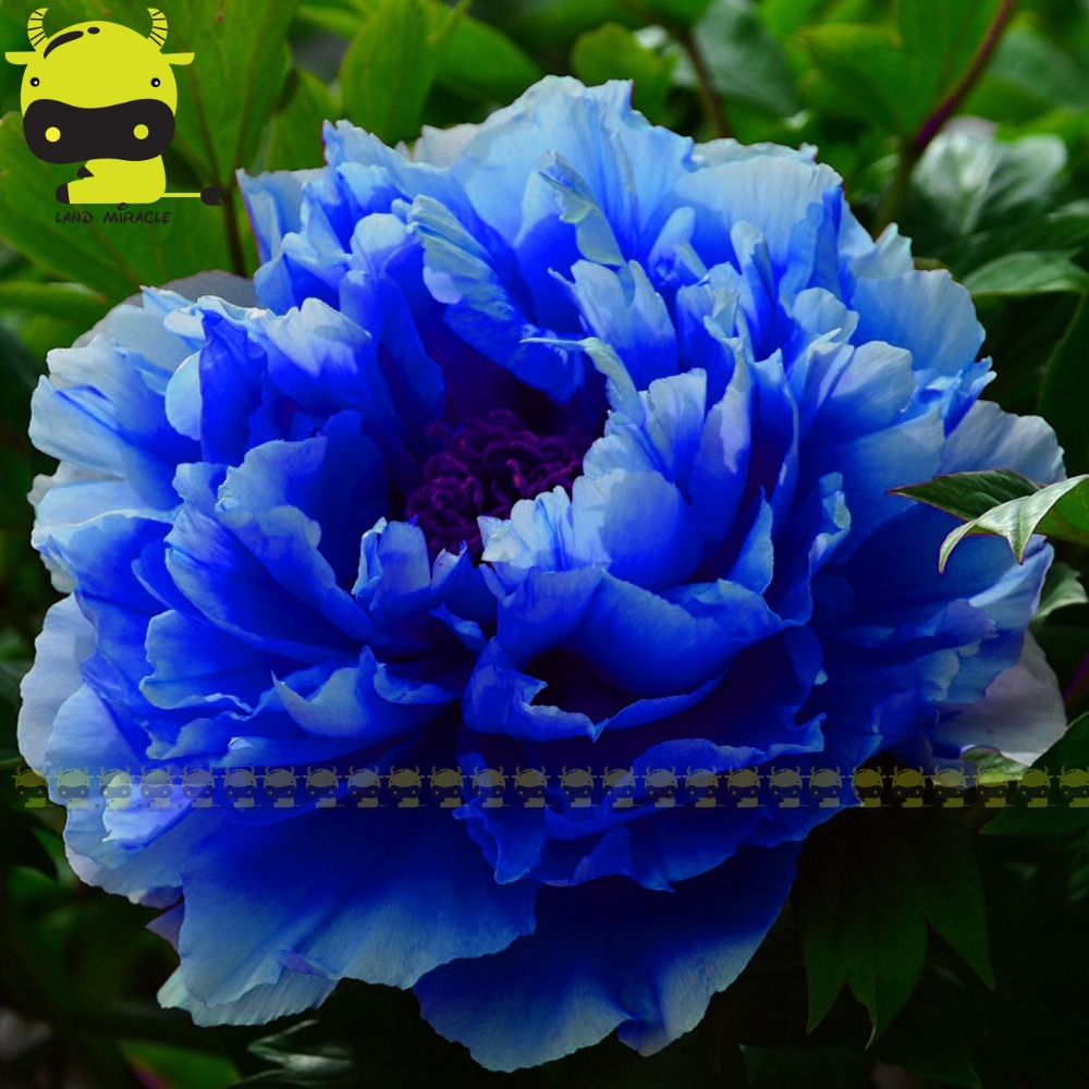 Rare chinese dark blue peony flower plant seedling bush seeds 5 rare chinese dark blue peony flower plant seedling bush seeds 5 seedspack strong fragrant flower light up your balcony garden in bonsai from home izmirmasajfo