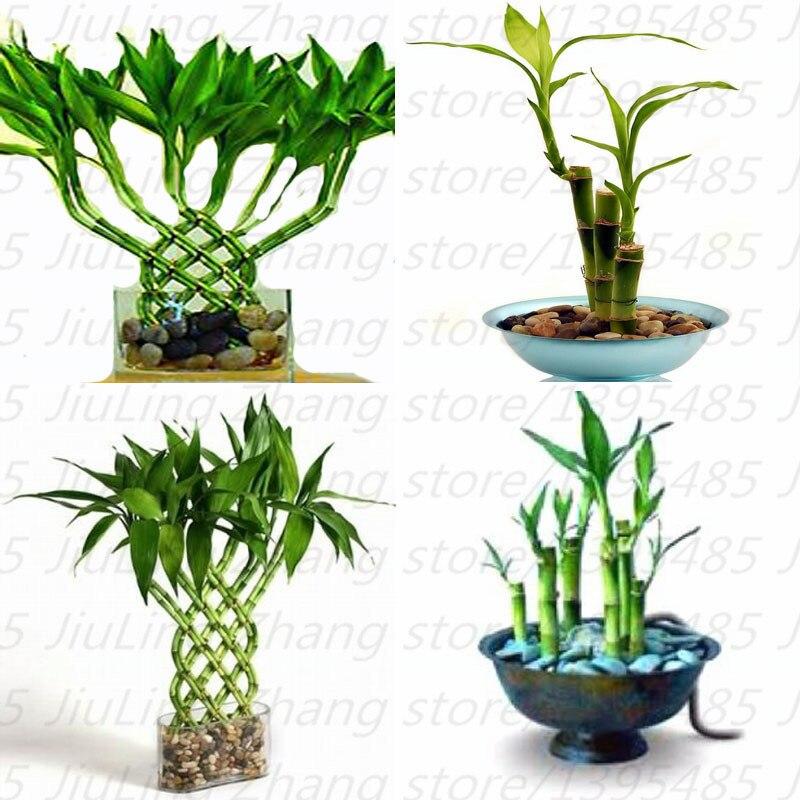 Online get cheap lucky bamboo plant for Cheap garden plants