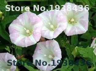 100pcs Scarce Rare  Petunia Flower bonsai Pack Garden Bonsai Home And Garden Farm House Decor Garden Fence