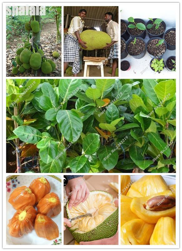 semillas de piña tropical