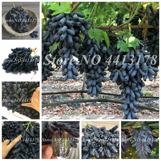 50 piezas bonsái uva negra miniatura vid de uva al aire libre orgánica fruta dulce en maceta suculenta planta fácil de cultivar para el jardín del hogar