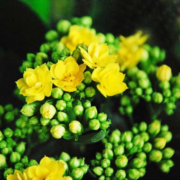 1pcs Yellow Desert Rose Adenium Obesum Bonsai Tree Seeds