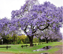 Jacaranda Mimosifolia Bonsai Tree Seeds 10pcs