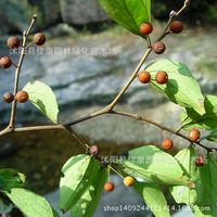 tree bonsai collected bonsai of purple bomb purple bombs Park hackberry tree plant Rosewood simple filming 200g / Pack