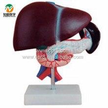 BIX-A1047 Liver Pancreas Duodenum Model WBW340