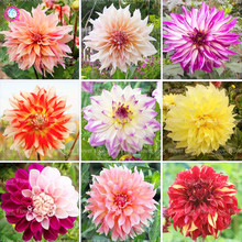 25PCS Perennial Flowers Garden Vary Colors Dahlias plant Bonsai Flower plants Gorgeous Balcony Potted Plants
